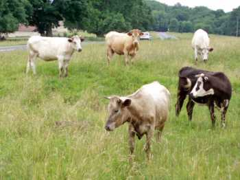 Cows grazing on Commons